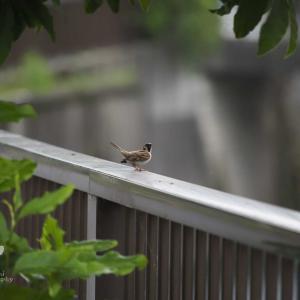 可愛い雀を撮るには筋肉がいる
