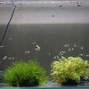 幼魚の60cm水槽デビュー