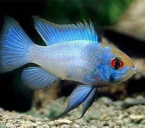 気になっている熱帯魚