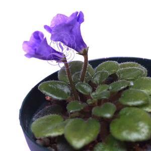 《動画》セントポーリア:マイクロミニ種の小っちゃな葉挿し苗の分離