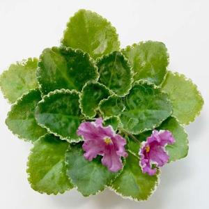 セントポーリア:キメラのような咲き方をする高額な普通種 LE Carousel  LEキャラセル