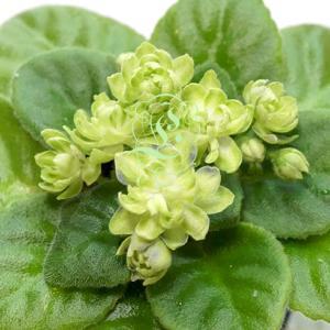 セントポーリア:セミミニ種(緑花)N Snezhnyi Georgin N スネズフニー ゲオーギン