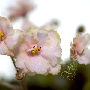 セントポーリア:セミミニ種:Rob's Sarsparilla ロブズ サースパーリラー