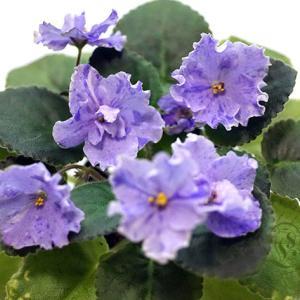 セントポーリア:普通種:Ma's Pretty Blue マーズ パーティー ブルー