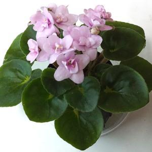 セントポーリア:ガール葉:セミミニ種 Pinki  ピンキー