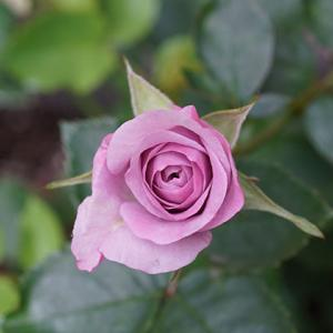 《北海道でミニバラを育てる》青花:モーニングブルー・オプティマ