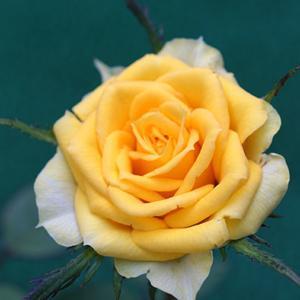 《北海道でミニバラを育てる》アンティーブフォーエバー 2度目の花