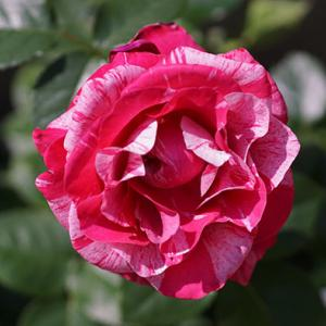 《北海道でミニバラを育てる》絞り咲品種のクレッシェンドアイ