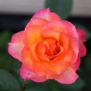 《北海道でミニバラを育てる》サンタルチア フォーエバー 2度目の花