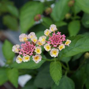 花色が変化するランタナ