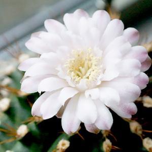 花が咲いている期間が4ヶ月になった『翠晃冠』 スイコウカン