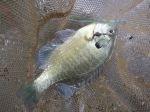 放流協賛増沢池ヘラブナ釣り大会-午後の部-