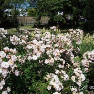 いつの間にかバラの季節