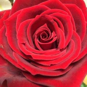 ビロードのような紅い花びら 満開の薔薇