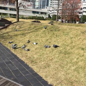 まったり鳩たち 日向ぼっこ