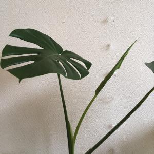 濃淡黄色ガーベラ & モンステラ赤ちゃん葉っぱ