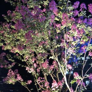 ライトアップされ幻想的なピンク色の花々