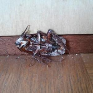 ゴキブリの熱中症!