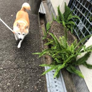 柴犬むくと散歩
