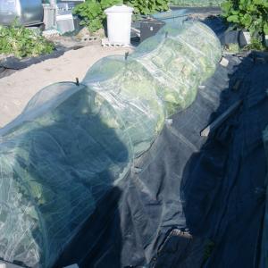 ■2019年白菜第1陣目余り苗キャベツと共にヨトウムシ虫害で壊滅破棄処理!(11/5・25)
