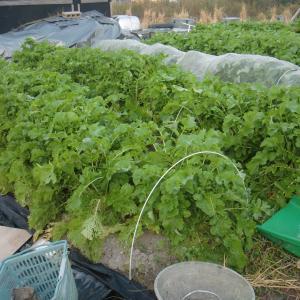 ■2019/9/15に種蒔きした、大根 千都 第2陣目 収穫中!!(11/25~12/3)