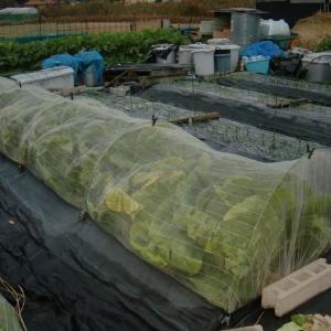 ■2019/8/23種蒔き、9/10に定植した白菜晴黄85日型第1陣目初収穫!!(11/28)