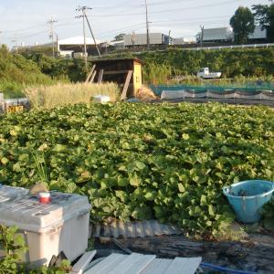 ■2020/5/12定植、サツマイモ安納芋購入苗初収穫で一斉収穫だが大凶作!!(8/31)