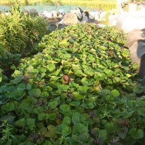 ■2020/6/23に定植したサツマイモ安納芋自家増殖苗 第3回目収穫!!(9/14)