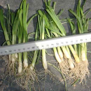 ■太くなりすぎた、たまねぎ苗のトウ立ちを回避できる定植方法!!(10/27)