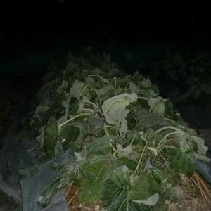 ■2020/8/13に種蒔き、ごぼう山田早生第4陣目、畝2本目収穫開始!(12/19)