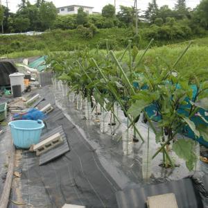 ■2021/5/11に定植した、ナス千両2号接木 購入苗、収穫中!6月分!(6/26~6/29)