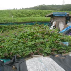 ■2021/5/3と、5/4に定植したサツマイモ安納芋購入苗、初収穫!!(8/23)