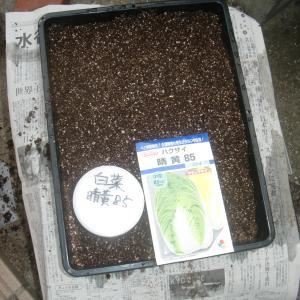 ■2021年 白菜 晴黄 85日型 種蒔き!(9/1)