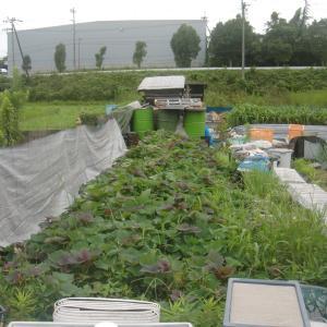 ■2021/5/3と、5/4に定植したサツマイモ安納芋購入苗、収穫終了!!(8/24)