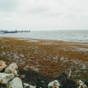 海藻、押し寄せてます。。。