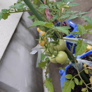 ニコさんのミニトマトは・・・?
