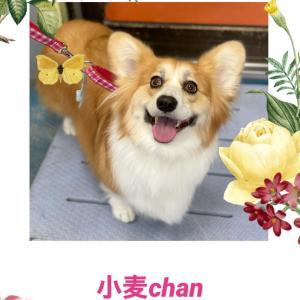 小麦chan٩(^‿^)۶