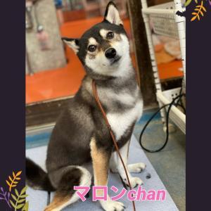 マロンchan( ^ω^ )