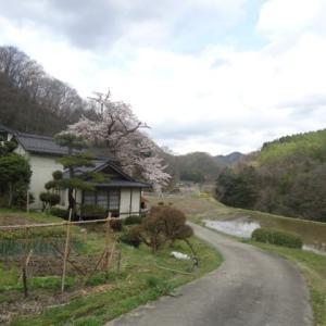 外出自粛と我が家の老桜