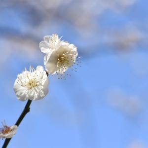 梅をデジイチ&マニュアルレンズで