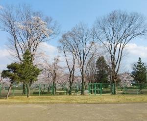 テニスと桜