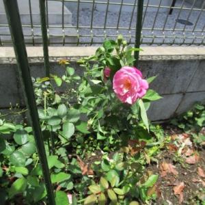 薔薇が2輪咲きました!