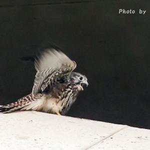 幼鳥・・・チョウゲンボウ