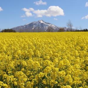 菜の花と岩木山(鯵ケ沢町)*2021.05.09