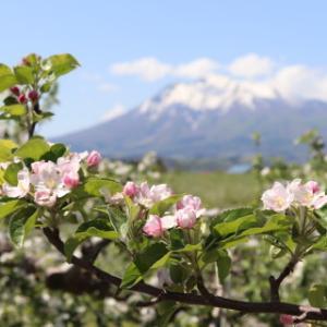 りんごの花:弘前市りんご公園(弘前市)*2021.05.12