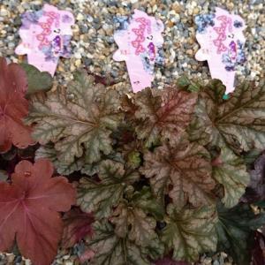 色んなヒューケラと雨の後のバラ