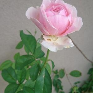 ゆうぜんの枝がわり「旋律」と枯れたバラ