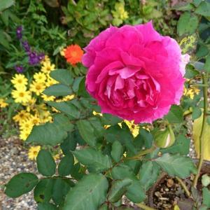 曇りのバラの前で寄せ植えたった