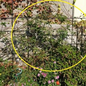 地植えのシュラブバラを無謀にも切って鉢植えに戻した