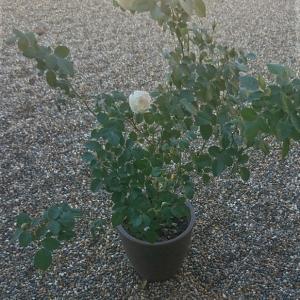 白花のER デスデモーナ